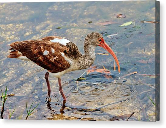 White Ibis Juvenile Canvas Print