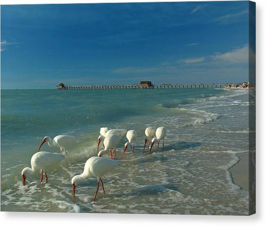 Florida Wildlife Canvas Print - White Ibis Near Historic Naples Pier by Juergen Roth