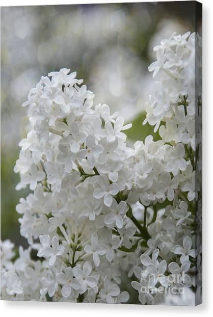 Lilac Bush Canvas Print - White Lilacs In Bloom by Juli Scalzi