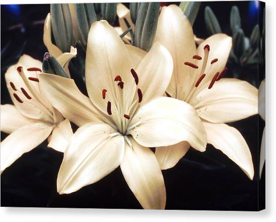 White Lily Beauty Canvas Print