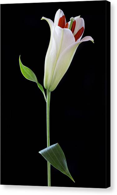 White Lily Bud Canvas Print