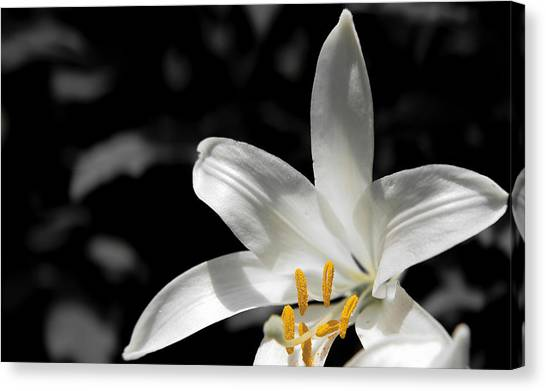 White Lily With Yellow Stamens Against Dark Background Canvas Print