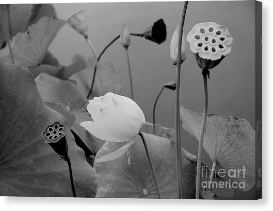White Lotus Flowers In Balboa Park San Diego Canvas Print by Julia Hiebaum