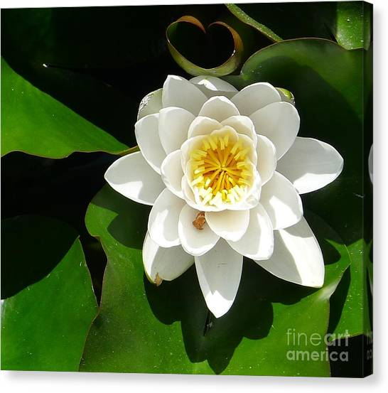 White Lotus Heart Leaf  Canvas Print