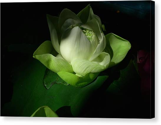 White Lotus Unfolding Canvas Print