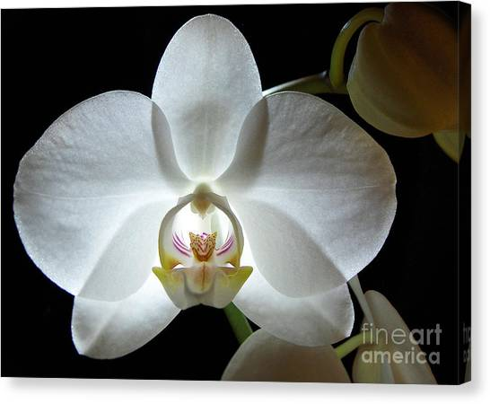 White Moon Orchid Canvas Print