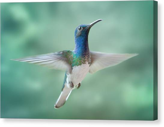 White-necked Jacobin Canvas Print