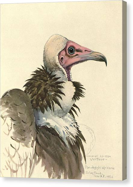 Vulture Canvas Print - White Necked Vulture by Dreyer Wildlife Print Collections