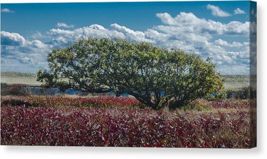 White Oak In Chilmark Canvas Print