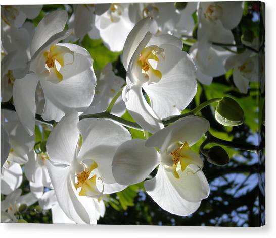 White Orchid In Light Canvas Print