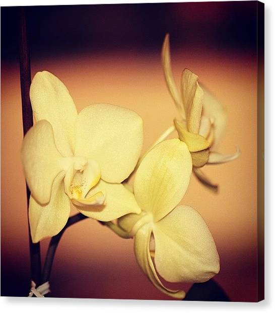 Orchids Canvas Print - White Orchid by Luisa Azzolini