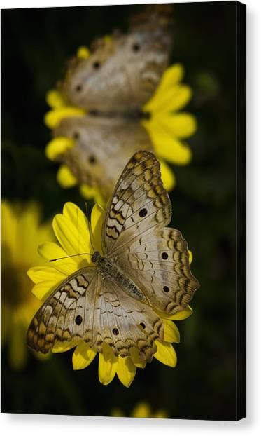 Anartia Jatrophae Canvas Print - White Peacock Butterflies  by Saija  Lehtonen