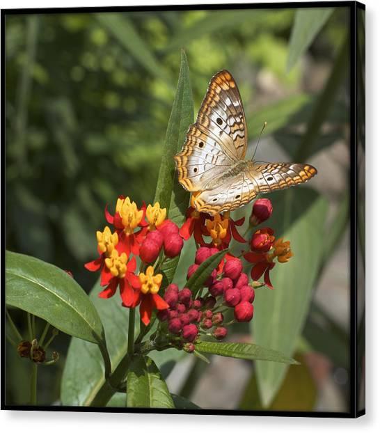 Anartia Jatrophae Canvas Print - White Peacock Butterfly by Heidi Hermes