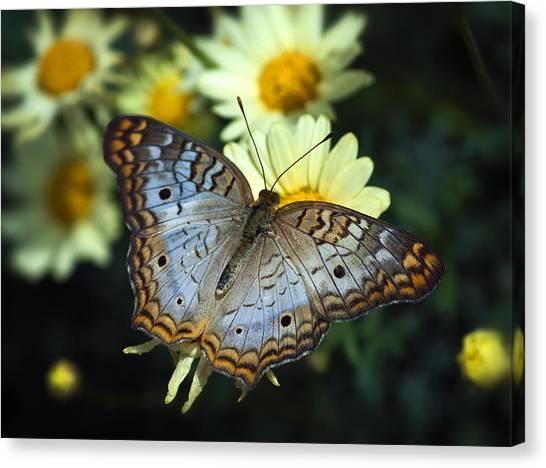 Anartia Jatrophae Canvas Print - White Peacock Butterfly On A Daisy by Saija  Lehtonen