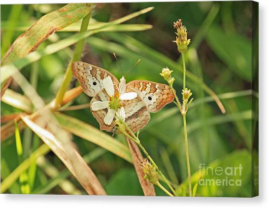 White Peacock Butterfly On Wild Daisy Canvas Print