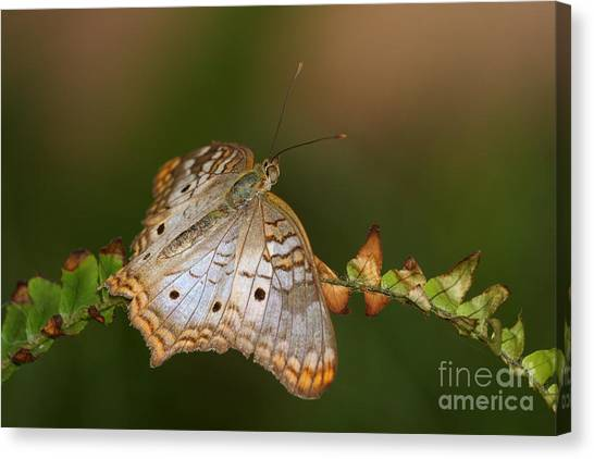 Anartia Jatrophae Canvas Print - White Peacock Butterfly by Ruth Jolly