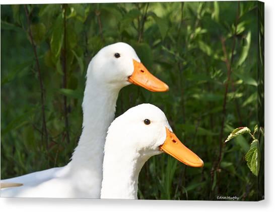 White Pekin Duck Canvas Print
