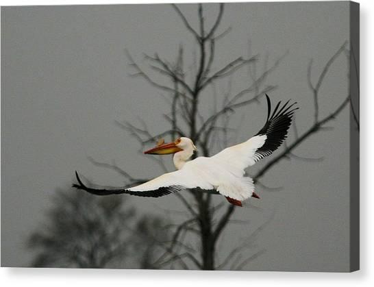 White Pelican Flight Canvas Print