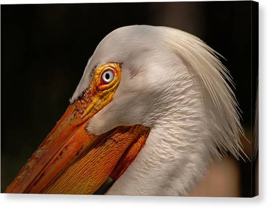 White Pelican Portrait Canvas Print