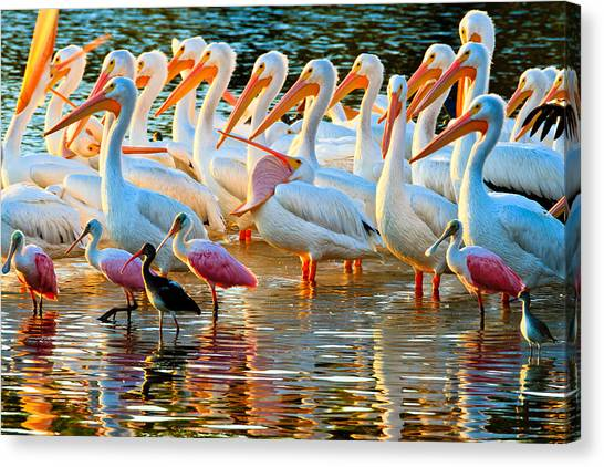 White Pelicans Canvas Print