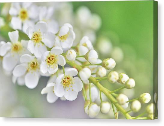 5 petal flowers canvas prints fine art america 5 petal flowers canvas print white petals by wendy elliott mightylinksfo