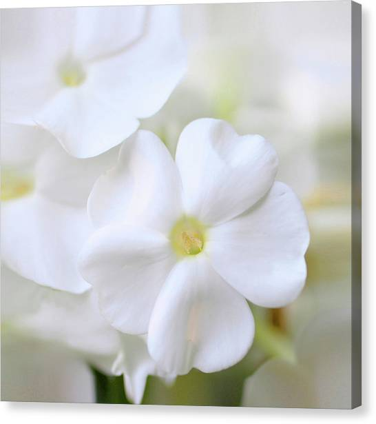 Phlox Canvas Print - White Phlox by Anna Miller
