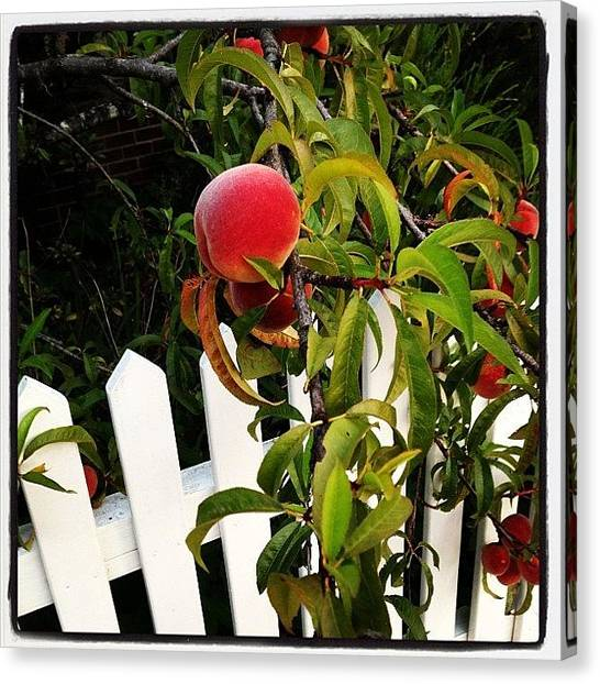 Peaches Canvas Print - White Picket Fence  by Pam Glucina