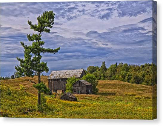 White Pine And Old Barn Canvas Print