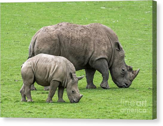 White Rhino 8 Canvas Print