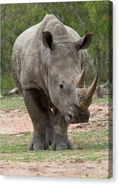 One Horned Rhino Canvas Print - White Rhino by Bob Gibbons