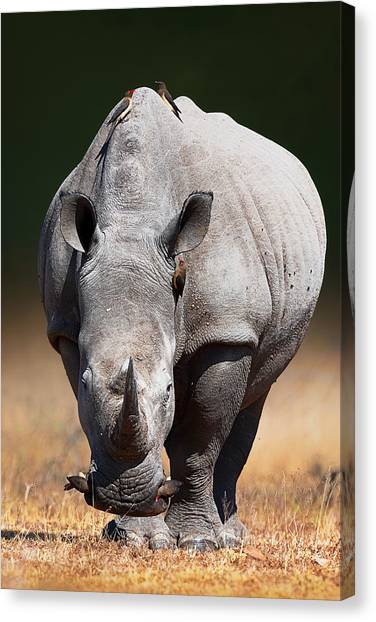 Large Mammals Canvas Print - White Rhinoceros  Front View by Johan Swanepoel
