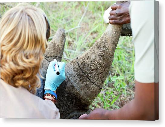 Chainsaw Canvas Print - White Rhinoceros Horn Removal by Louise Murray/science Photo Library