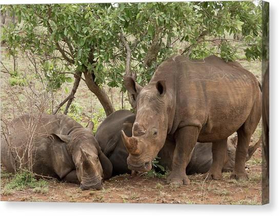One Horned Rhino Canvas Print - White Rhinos Resting by Bob Gibbons