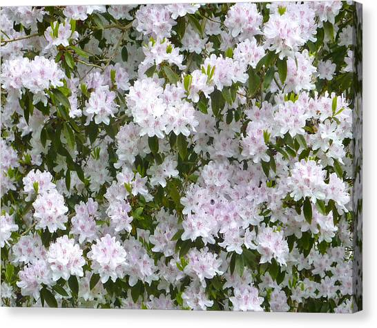 White Rhododendron Blossoms Canvas Print by Rob Sherwood