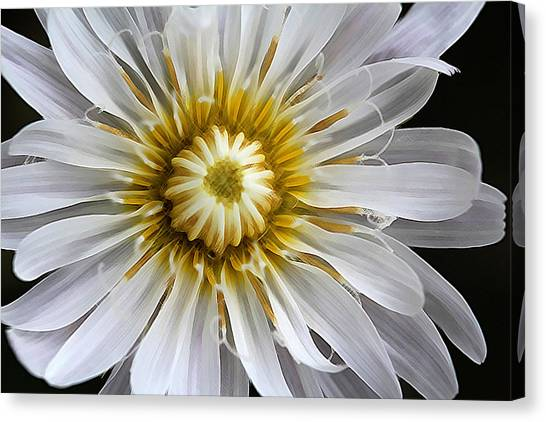 White Dandelion - White Rock Lettuce Canvas Print