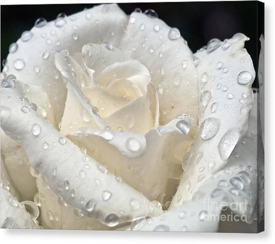 White Rose After The Rain Canvas Print