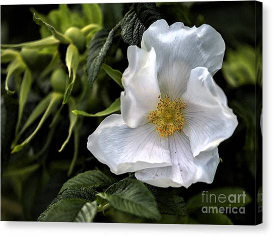 Canvas Print featuring the photograph White Rose by Belinda Greb