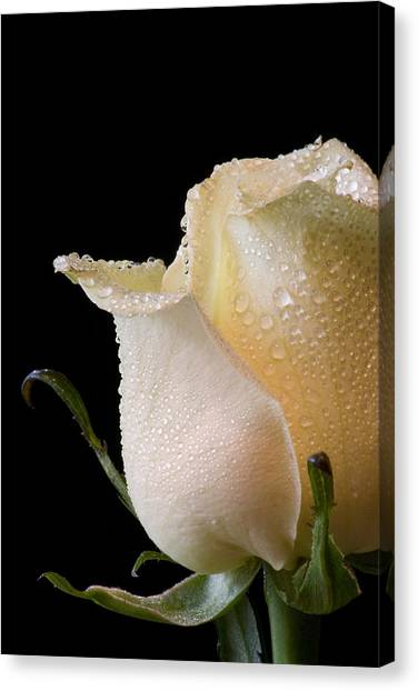 White Rose Close-up Canvas Print