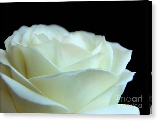 White Avalanche Rose Canvas Print