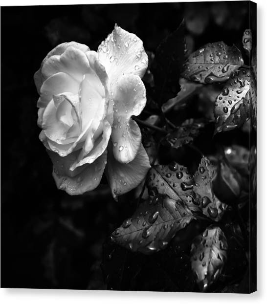 Rose In Bloom Canvas Print - White Rose Full Bloom by Darryl Dalton