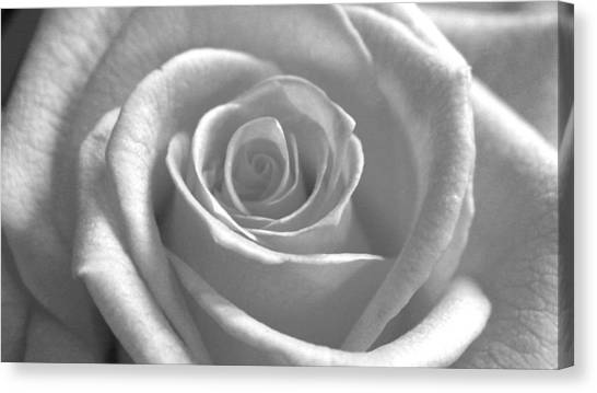 White Rose Glooming Canvas Print