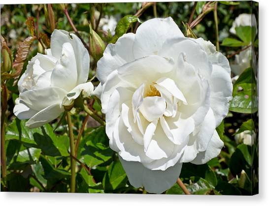 Canvas Print featuring the photograph White Rose by Jon Exley
