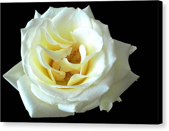 White Rose Number One Canvas Print