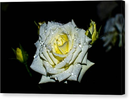 Mountain Dew Canvas Print - White Rose With Dew by Mihai Piltu