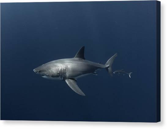White Shark With Fish Canvas Print by David Valencia