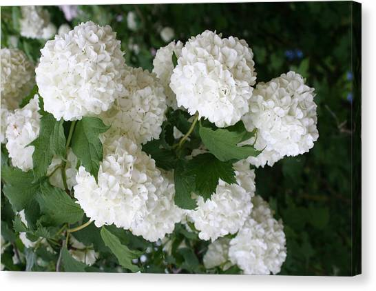 Snowball Flower Canvas Prints Page 2 Of 5 Fine Art America
