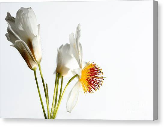 White Sparmannia Africana Plant. Canvas Print