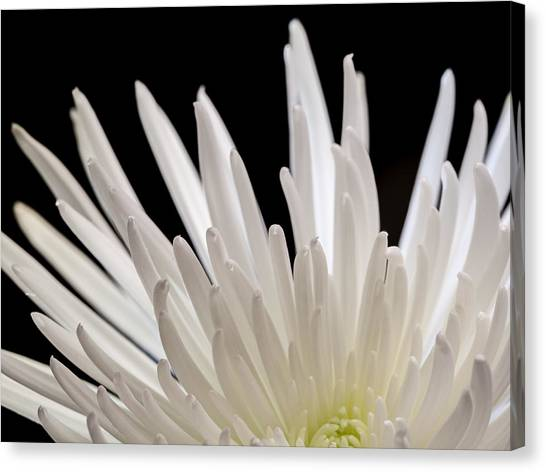 White Spider Mum On Black Canvas Print