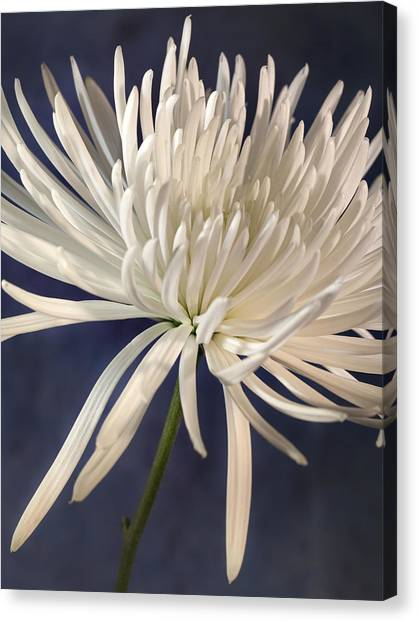 White Spider Mum On Blue Canvas Print
