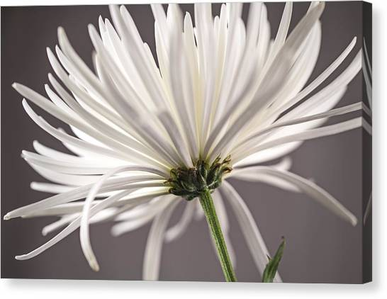 White Spider Mum On Gray Canvas Print